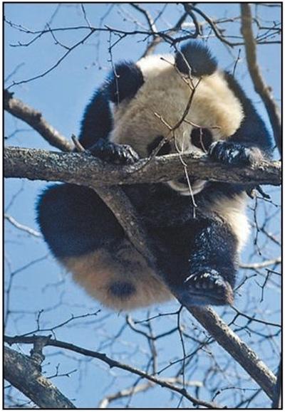 这个熊猫护卫队,厉害!